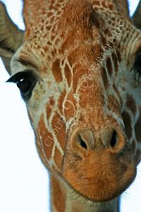 Giraffe 00005 by Peter J Mancus