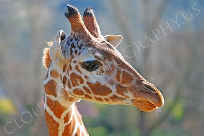 Giraffe 00010 by Peter J Mancus