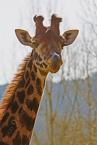 Giraffe 00017 by Peter J Mancus