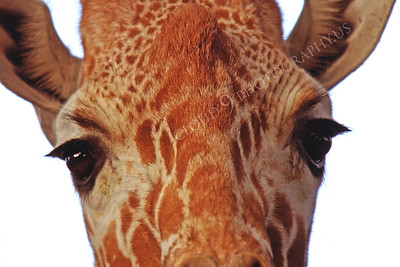 Giraffe 00004 by Peter J Mancus
