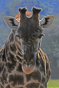 Giraffe 00015 by Peter J Mancus