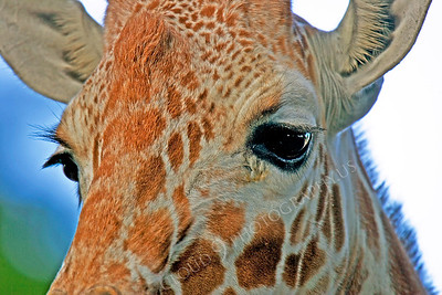 Giraffe 00002 by Peter J Mancus