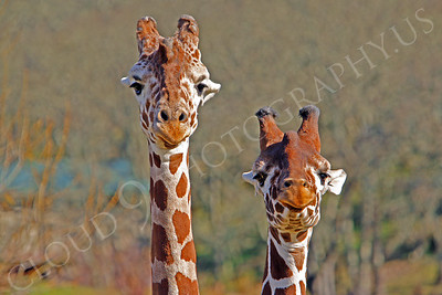 Giraffe 00012 by Peter J Mancus