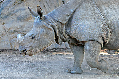 Great Indian One-horned Rhinoceros 00008 by Peter J Mancus