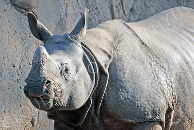 Great Indian One-horned Rhinoceros 00032 by Peter J Mancus