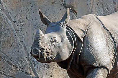 Great Indian One-horned Rhinoceros 00026 by Peter J Mancus