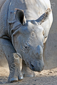 Great Indian One-horned Rhinoceros 00011 by Peter J Mancus