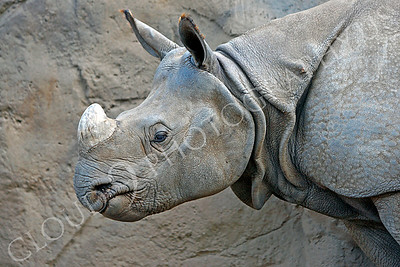 Great Indian One-horned Rhinoceros 00001 by Peter J Mancus