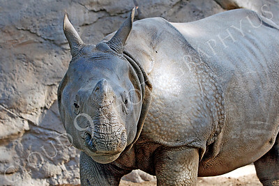 Great Indian One-horned Rhinoceros 00005 by Peter J Mancus