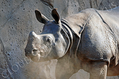 Great Indian One-horned Rhinoceros 00004 by Peter J Mancus