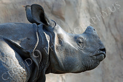 Great Indian One-horned Rhinoceros 00038 by Peter J Mancus