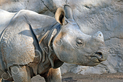 Great Indian One-horned Rhinoceros 00046 by Peter J Mancus