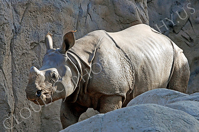 Great Indian One-horned Rhinoceros 00009 by Peter J Mancus