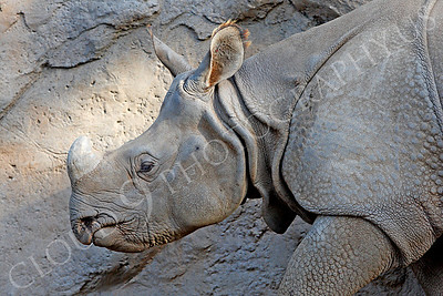 Great Indian One-horned Rhinoceros 00020 by Peter J Mancus