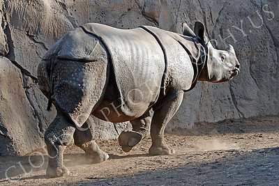 Great Indian One-horned Rhinoceros 00003 by Peter J Mancus