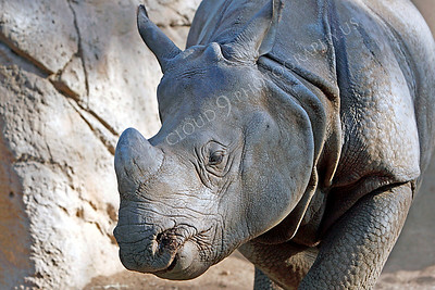 Great Indian One-horned Rhinoceros 00007 by Peter J Mancus