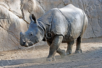 Great Indian One-horned Rhinoceros 00002 by Peter J Mancus