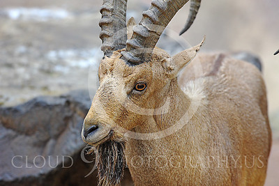 AN-Ibex 00008 An ibex stands by a rock by Peter J Mancus