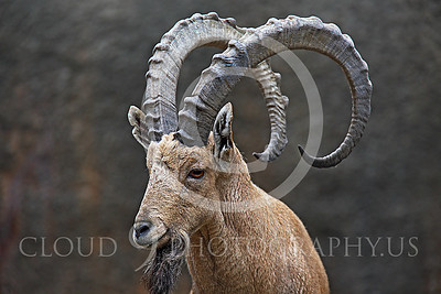 AN-Ibex 00002 Male ibex by Peter J Mancus
