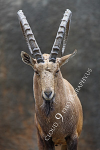 AN-Ibex 00005 Male ibex by Peter J Mancus