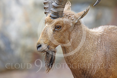 AN-Ibex 00007 Male ibex by Peter J Mancus