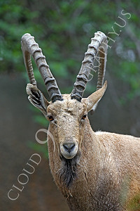 AN-Ibex 00003 Male ibex strikes a pose by Peter J Mancus
