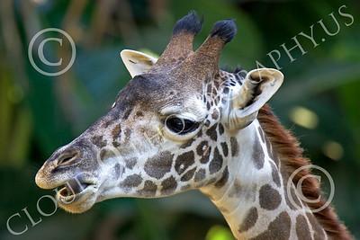 Kenyan Giraffe 00014 Close up portrait of a juvenile Kenyan giraffe with its tongue out, by Peter J Mancus