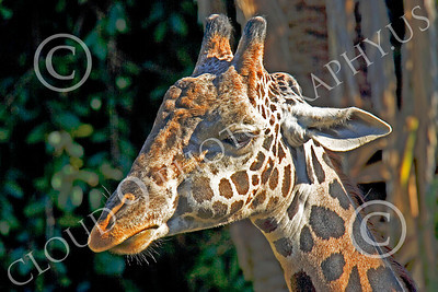Kenyan Giraffe 00006 Close up portrait of a Kenyan giraffe, by Peter J Mancus