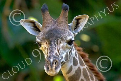 Kenyan Giraffe 00008 Close up portrait of a Kenyan giraffe, by Peter J Mancus