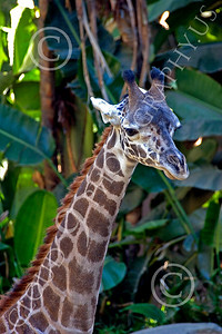 Kenyan Giraffe 00003 Close up portrait of a Kenyan giraffe, by Peter J Mancus