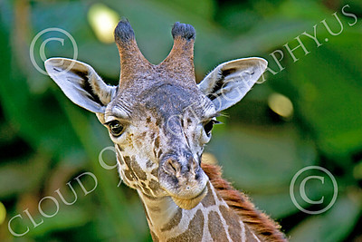 Kenyan Giraffe 00002 Close up portrait of a Kenyan giraffe, by Peter J Mancus