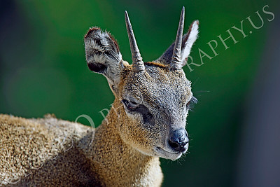 Klipspringer 00005 by Peter J Mancus