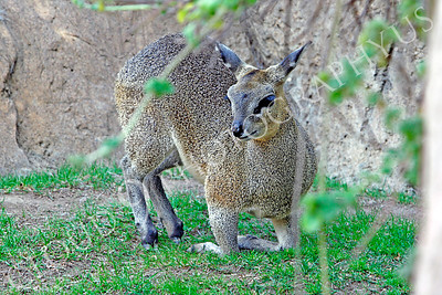 Klipspringer 00002 by Peter J Mancus