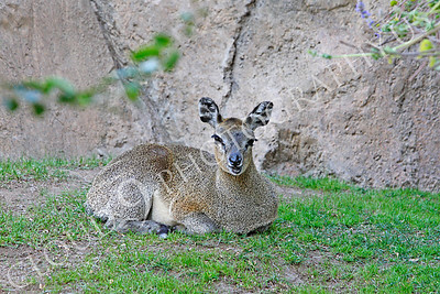 Klipspringer 00004 by Peter J Mancus