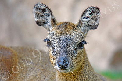 Klipspringer 00006 by Peter J Mancus