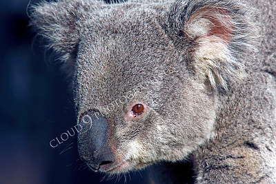 Koala 00002 by Peter J Mancus