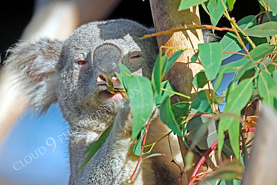 Koala 00003 by Peter J Mancus