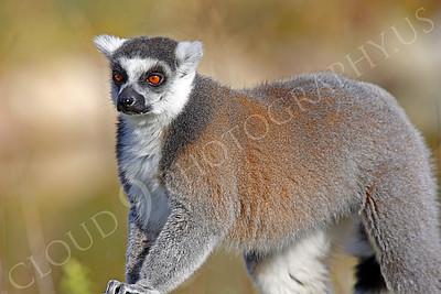 Lemur 00026 White fronted brown lemur by Peter J Mancus