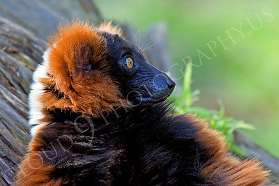 Lemur 00022 Red ruffed lemur by Peter J Mancus