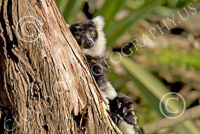 Lemur 00042 Ruffed lemur, by Peter J Mancus