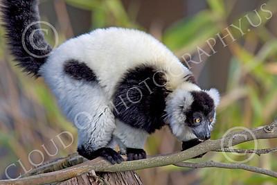 Lemur 00040 Ruffed lemur, by Peter J Mancus