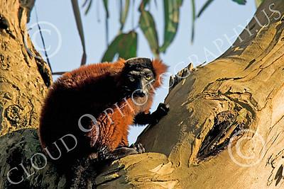Lemur 00050  Ruffed lemur in a tree, by Peter J Mancus
