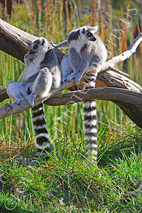 Lemur 00027 Ring tailed lemurs by Peter J Mancus