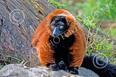 Lemur 00052 Ruffed lemur, by Peter J Mancus
