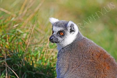 Lemur 00030 White-fronted brown lemur by Peter J Mancus
