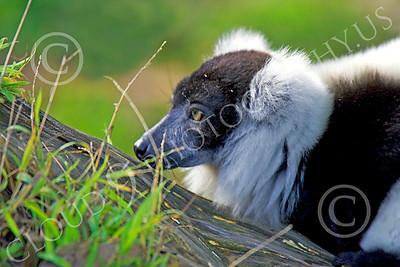 Lemur 00037 Ruffed lemur, by Peter J Mancus
