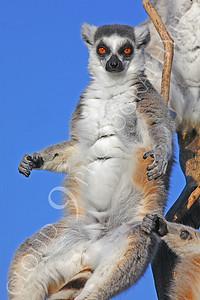 Lemur 00033 White-fronted brown lemur by Peter J Mancus
