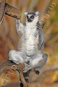 Lemur 00029 Ring-tailed lemur by Peter J Mancus