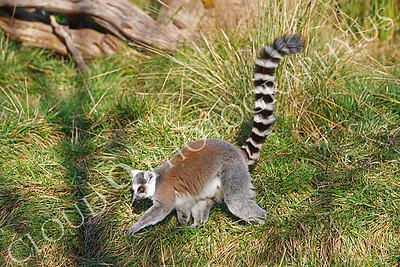 Lemur 00034 Ring-tailed lemur by Peter J Mancus