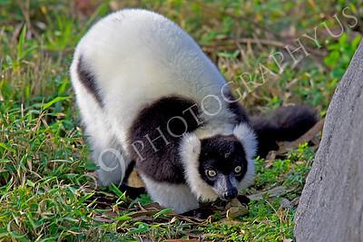 Lemur 00019 Black and white ruffed lemur by Peter J Mancus